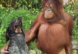 catahoula cur and orangutan are friends