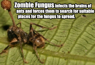 Zombie Fungus infects the brains of     ants and forces them to search for suitable       places for the fungus to spread.