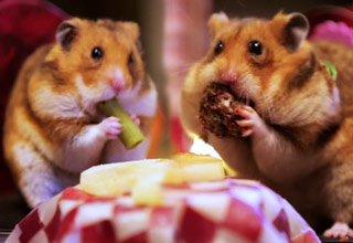 two tiny hamsters eating tiny food