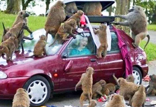 car getting torn apart by monkeys