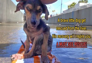 abused abandoned dog is rescued from the LA river