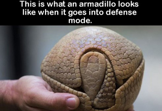 armadillo in defense mode