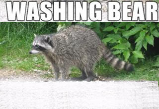 picture of a raccoon with text that says washing bear