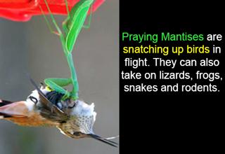 praying mantis snatching bird