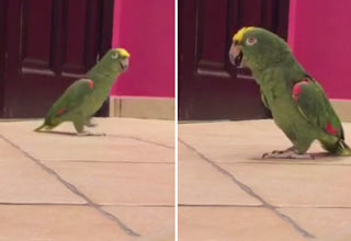 Bird Escapes And Laughs Like Super Villain