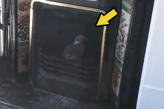 pigeon in a fireplace
