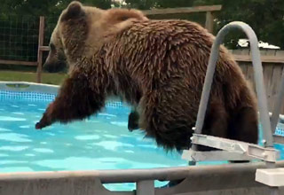 Bear Cools Off By Going For A Swim
