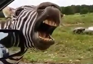 Zebra Sings For Snacks