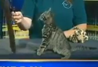 Kitten Flips Out On Live TV