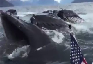 Whales Surprise Tourist Filming Sea