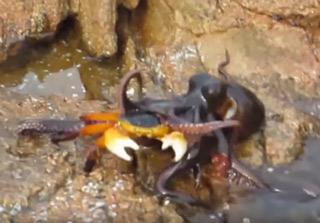 Australian Man Narrates Octopus Eating A Crab