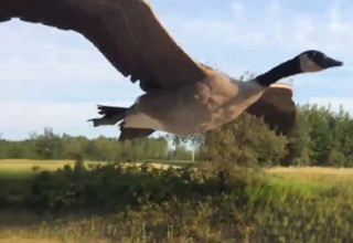 Lost Goose Flies Alongside Truck