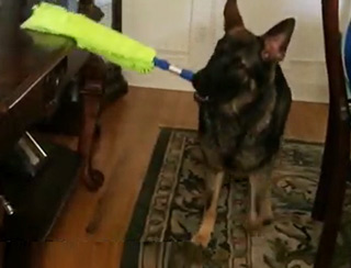 German Shepherd Helps His Owners Clean