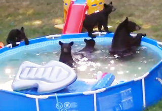 A Family of Bears Take Over Backyard Pool