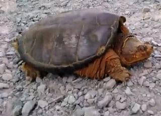 Snapping Turtle Attacks After Dude Pis