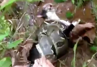 Cat Saved From Boa Constrictor's Death Grip