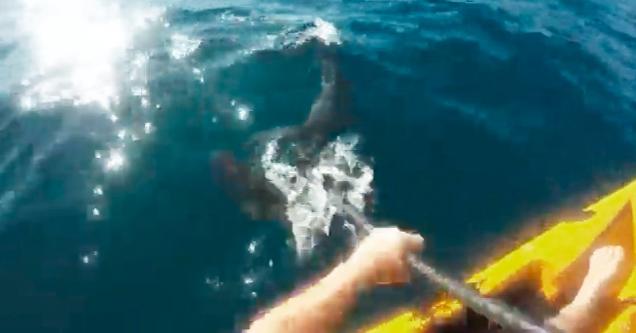 Great White Shark Attacks Kayaker Off The Coast Of California