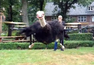Man Turns a Dead Ostrich Into a Drone