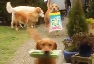 Golden Retrievers Bring Home The Groceries
