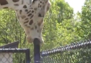 Giraffe Shows Some Previously Unknown Skills