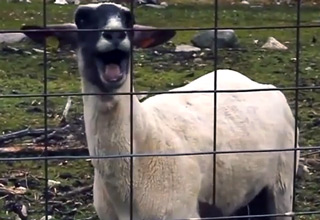 goats2 this is what kevin from the office sounds like in real life wow