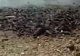Hungry Chinese Fish Go On Shore To Eat
