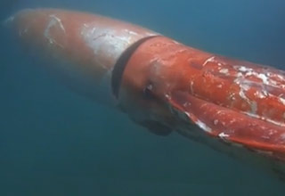 Giant Squid Captured On Camera Swimming Alongside Divers
