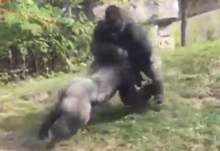Gorillas Duke It Out In Front Of Kids At The Zoo