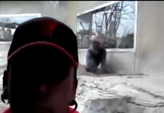 Enraged Gorilla Tries To Attack Zoo Goer Through Glass