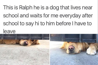 Wholesome meme of Ralph the dog who waits for me everyday after school to say hi