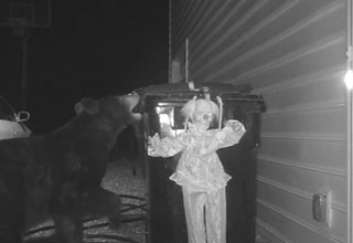 black bear tries breaking into a trash can but its tricked by a doll