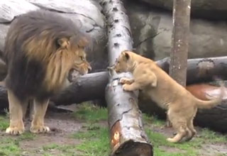Lion Cub Triplets Meet Their Dad For The First Time