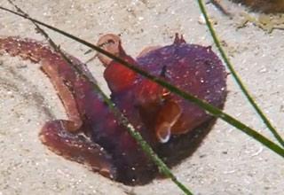 red octopus on ocean floor