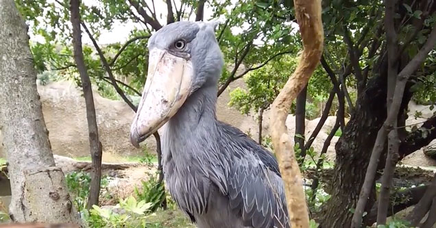 a large shoebilll stork