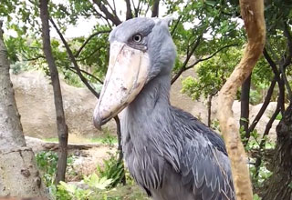 a large bird called a shoebill stork