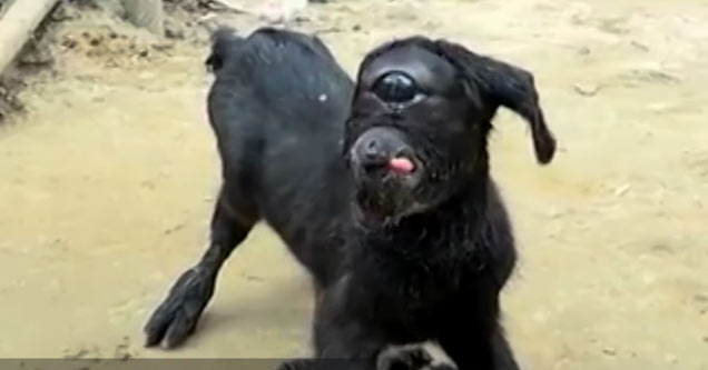 one eyed cyclops goat in india