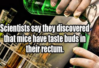 scientist  discovered mice have tastebuds in rectum
