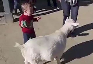 Goat fart scares child