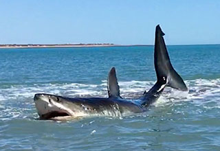 great white shark spotted of Baja
