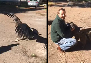 huge condor lands and gives man a hug