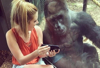 girl showing gorilla a phone and cool metal car