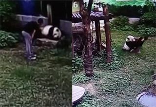 man jumps into panda enclosure and regrets it right away