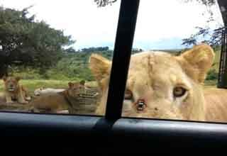 lion open a car door with its teeth