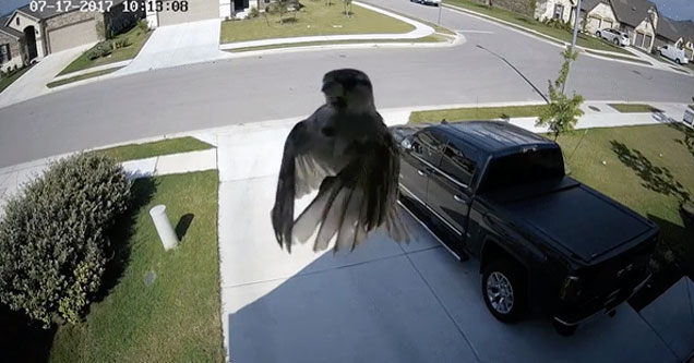 bird appears to hover when it's wing flapping syncs with a cameras frame rate