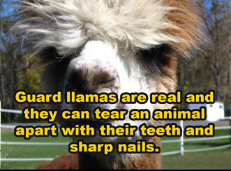 guard llamas are real and can kill animals with their teeth and nails
