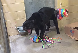Panther tearing up a Piñata