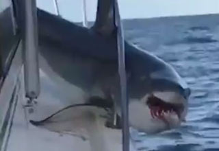 Shark Jumps On Fishing Boat And Gets Stuck