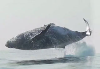 40 Ton Humpback Whale Leaps Entirely Out of the Water