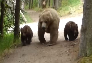 Hiker Has An Unnerving Encounter With A Grizzly Bear Mama and Her Cubs