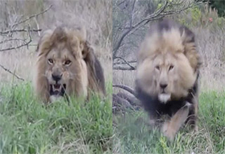 lion charges cameraman at top speed